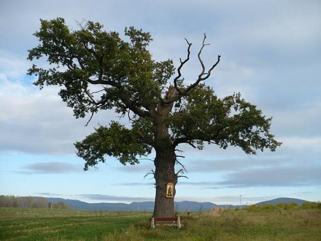 tristoročný dub v Belži